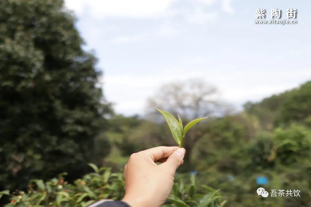 茶山纪实:迷帝贡茶山初印象插图14